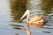 Spot-billed Pelican by reorom