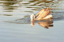 Spot Billed Pelican by reorom