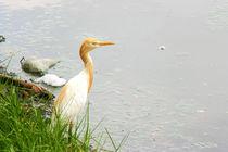 Cattle Egret von reorom
