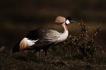 Grey Crowned Crane (Balearica regulorum) in Masai Mara von Maggy Meyer