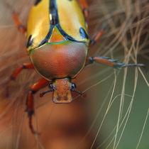 Insekten, Käfer, afrikanischer Rosenkäfer(eudicella trilineata), rose chafer, african beetle, bug von Dagmar Laimgruber