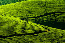 Tea Plantation Landscape by perfectlazybones