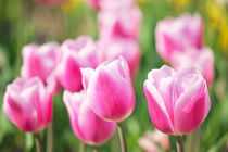 Tulpenzeit by AD DESIGN Photo + PhotoArt