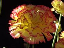 Fiesta Flower... by Henrietta Benjamin