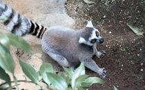 Lemur by NINA PETERKA