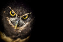 Spectacled Owl emerging from shadows von Alan Shapiro