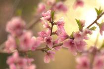 peach blossom by digidreamgrafix