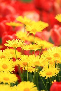 Blumenbeet mit Gämswurzen und roten Tulpen von Petra Koob