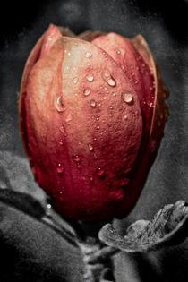 Black Tulip Magnolia by royspics