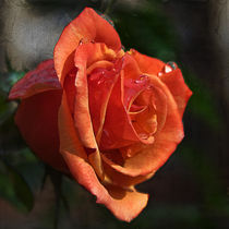 Textured Rose by royspics