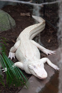 albino alligator von digidreamgrafix
