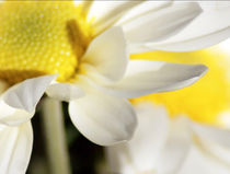 yellow flower with white petals by digidreamgrafix