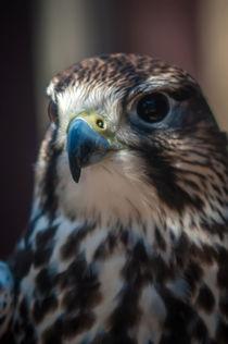 falcon by digidreamgrafix