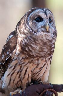 owl by digidreamgrafix