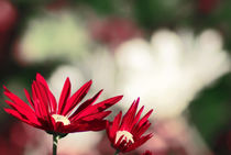 red flowers by digidreamgrafix