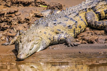 close up wild crocodile von Craig Lapsley
