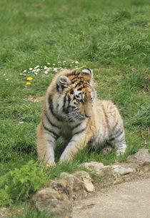 tiger cub von Martyn Bennett