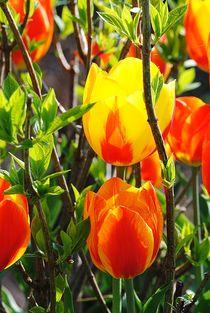 Tulpen by Elke Balzen