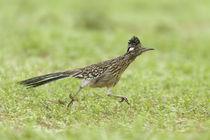 Greater Roadrunner by bia-birdimagency