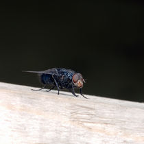 The Fly von perfectlazybones