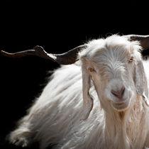 Kashmir Goat  von perfectlazybones