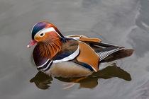 Mandarin Ente / Mandarinente auf dem Wasser von Björn Vilcens