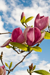 MAGNOLIA SICILIA  by captainsilva
