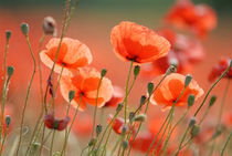 poppies by pippawest