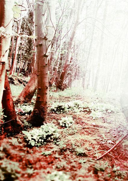 Bloodwood-c-sybillesterk