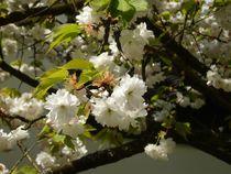 Blühende Zierkirsche von Ulrike Kröll