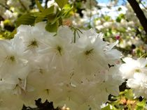 Blüte an Blüte von Ulrike Kröll