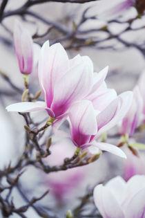 Magnolia von Eva Stadler
