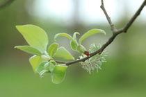 Mai-Weide von Silke Bicker