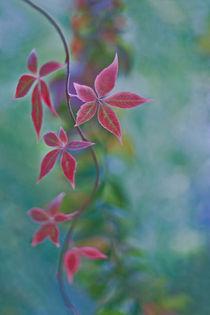 Garden stars by Maria Ismanah  Schulze-Vorberg