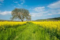 Baum am Rapsfeld von Erhard Hess