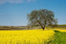 Baum im Rapsfeld von Erhard Hess