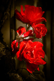 Blooming Red Roses von loriental-photography