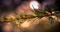 Rain Droplets on Pine Needles by loriental-photography