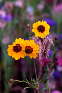 Coreopsis 714 by Patrick O'Leary