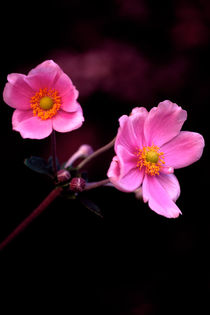 Anemone Pair 715 by Patrick O'Leary