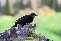 Schwarzdrossel - blackbird by ropo13