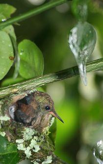 Brütender Kolibri von Ingrid Eichhorst