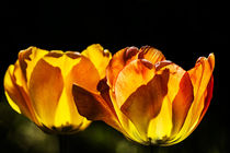 Tulip in Flames by royspics