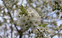 Kirschblüten von taxanin