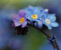 Spring Forget-me-nots by rosanna zavanaiu