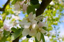 Apfelblüten by Maria-Anna  Ziehr