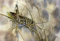 grasshopper watercolor von alfred ng