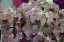 White Orchid with pink Stripes by Gitta Wick