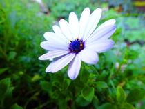 Purple Centred Daisy by Rebekah Tyler-Harris