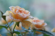 Rosen im Sommerregen von Ingrid Eichhorst